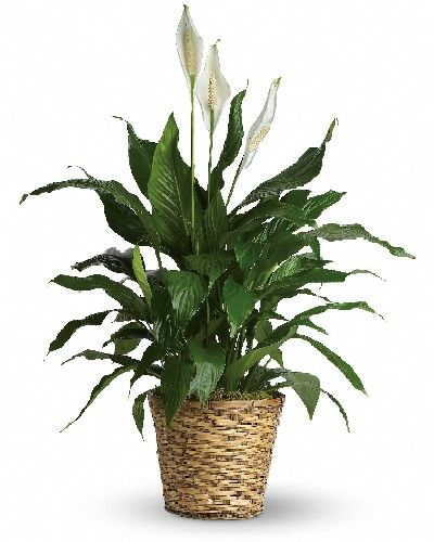 Spathiphyllum - Basket