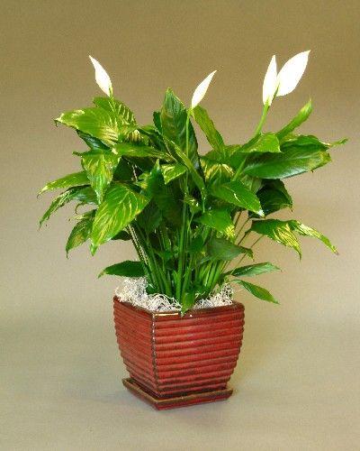 Spathiphyllum - Ceramic